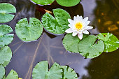 white lotus flower and  Leaf