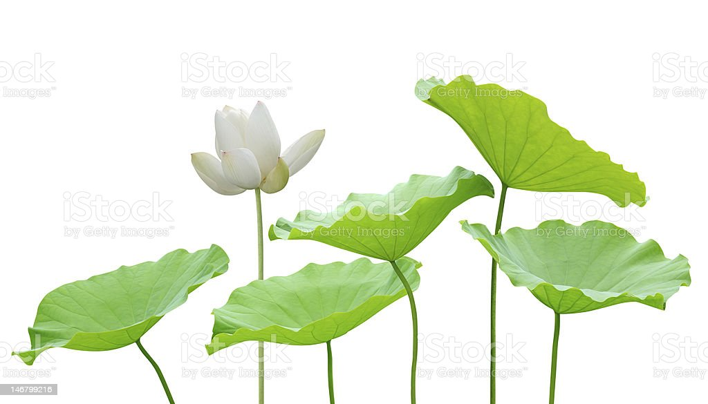White lotus flower and leaves stock photo