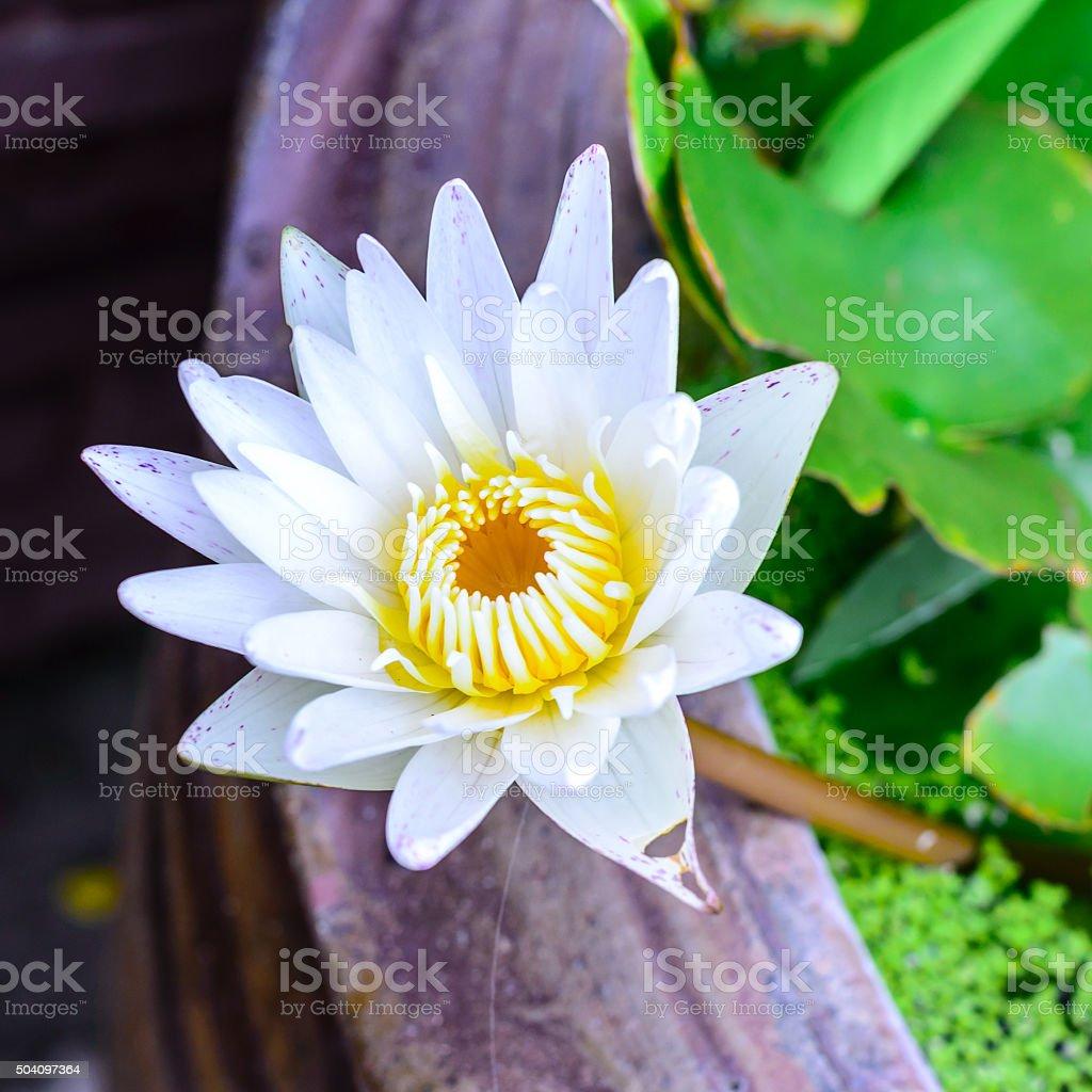 White Lotus Flower Blooming In Summer Stock Photo 504097364 Istock