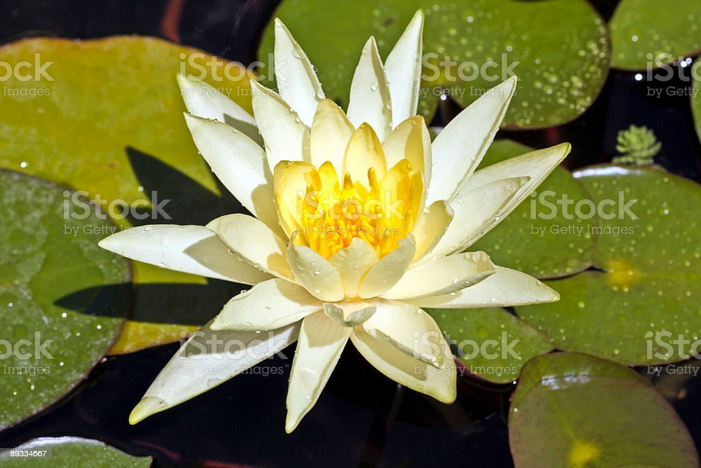 White lotus flower floating in water royalty-free stock photo