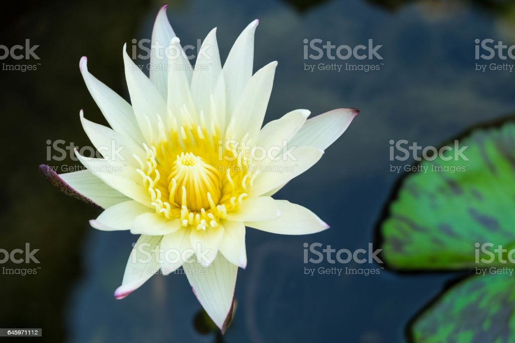 White lotus flower in pond, fully bloom stock photo