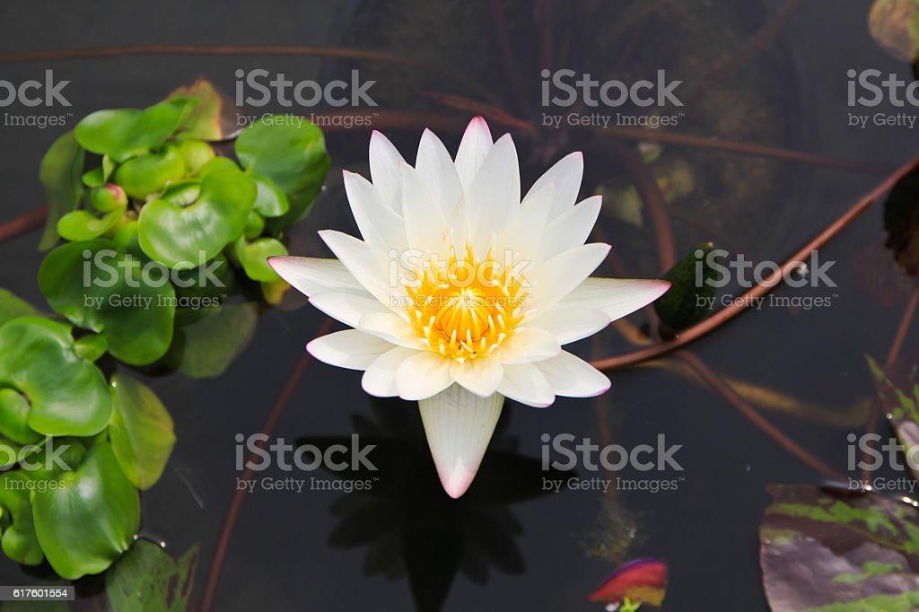 white lotus flower on the pond stock photo