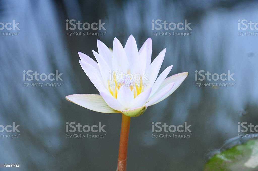 White Lotus Flower or Water Lily Blossom in pond stock photo
