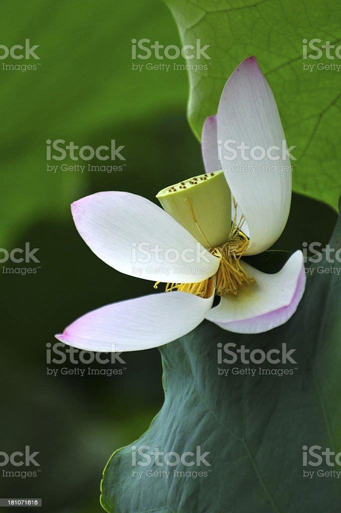 White lotus flower petals royalty-free stock photo