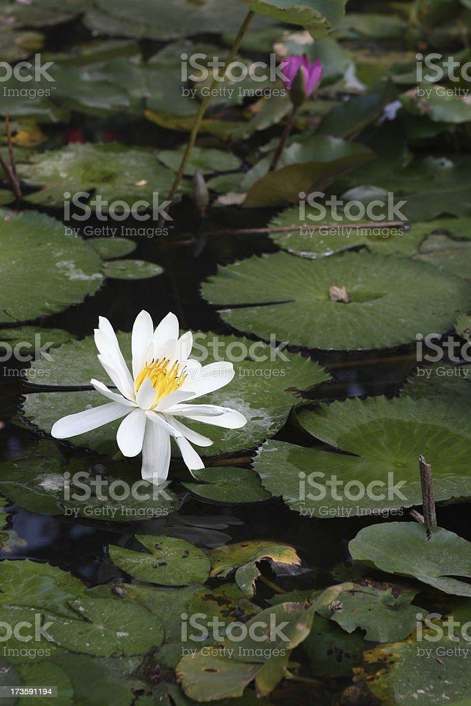 white lotus flower royalty-free stock photo