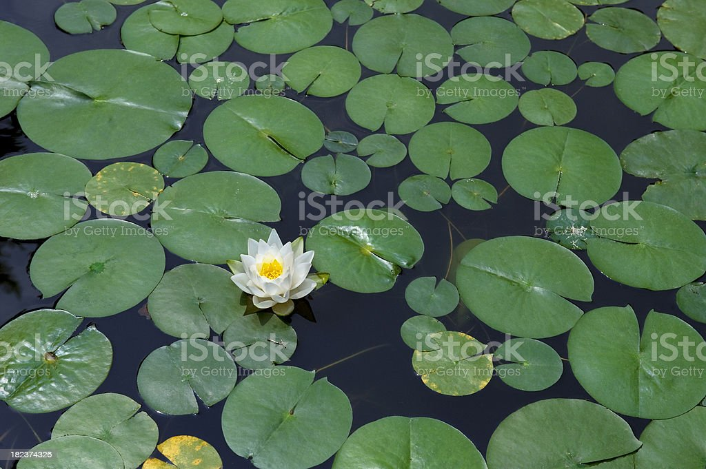 white lotus flower royalty-free stock photo