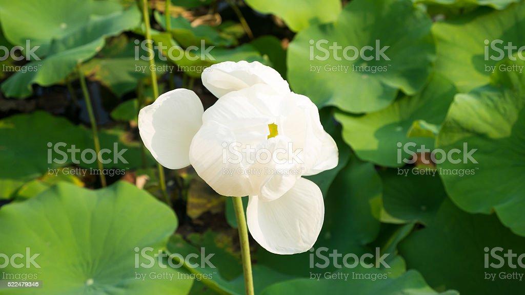 White lotus Blume Lizenzfreies stock-foto