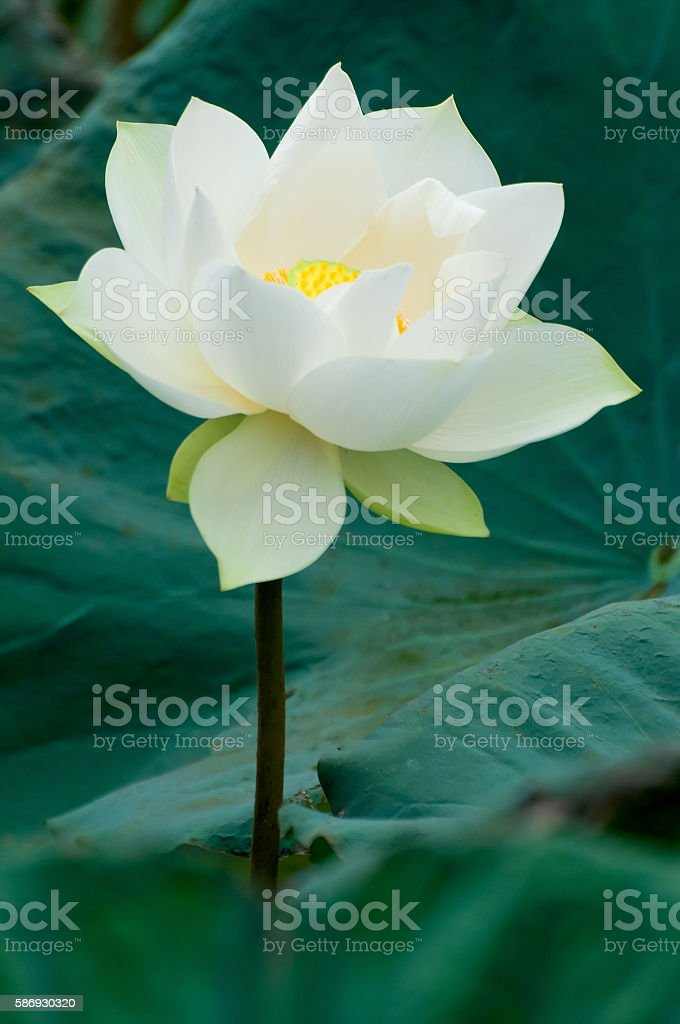White lotus flower stock photo