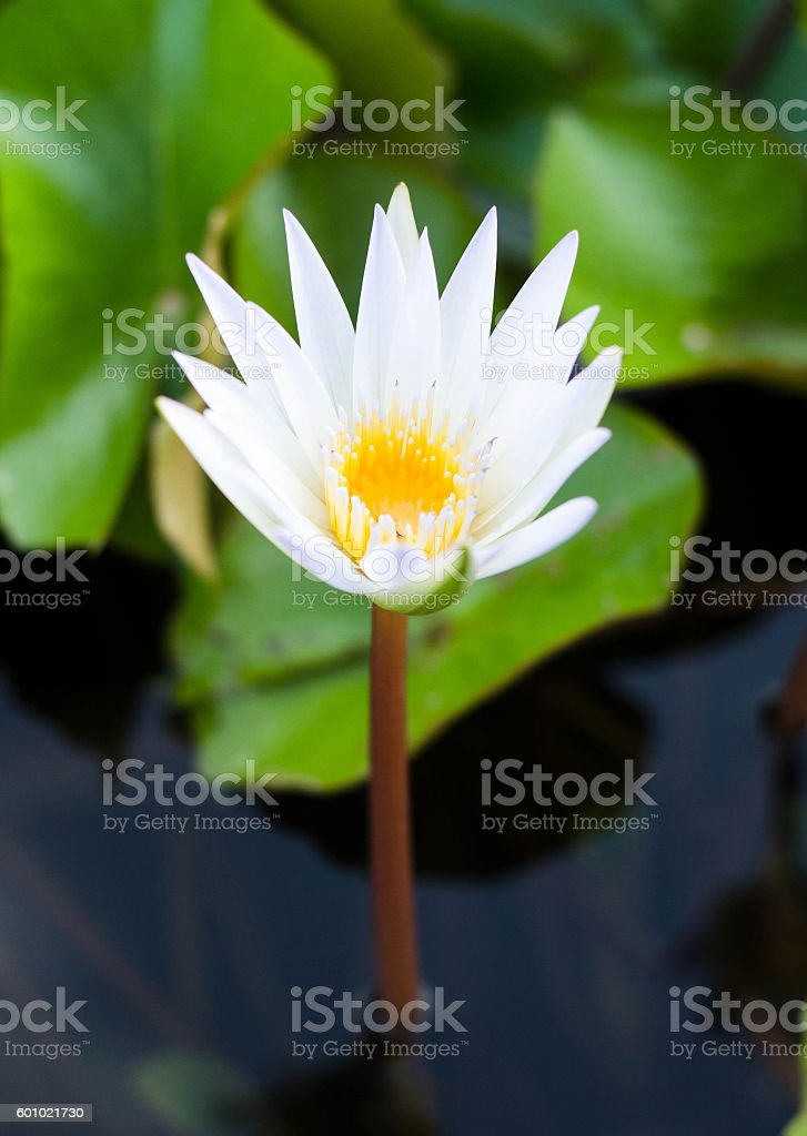 White lotus flower reflect with the water in the pond foto de stock libre de derechos