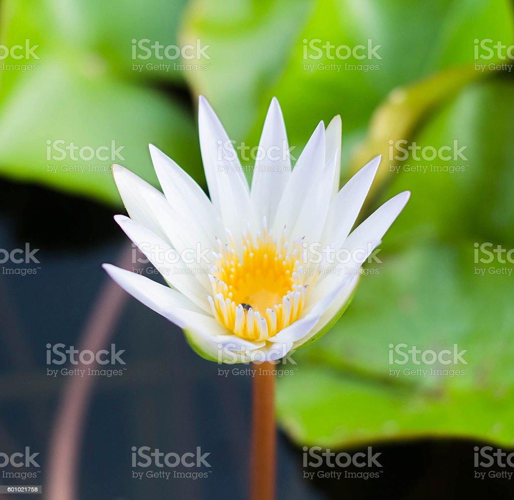 White lotus flower reflect with the water in the pond foto de stock libre de derechos