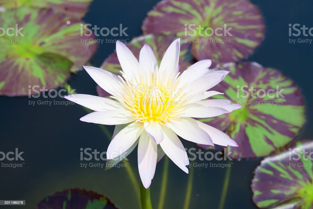 White lotus in lagoon royalty-free stock photo