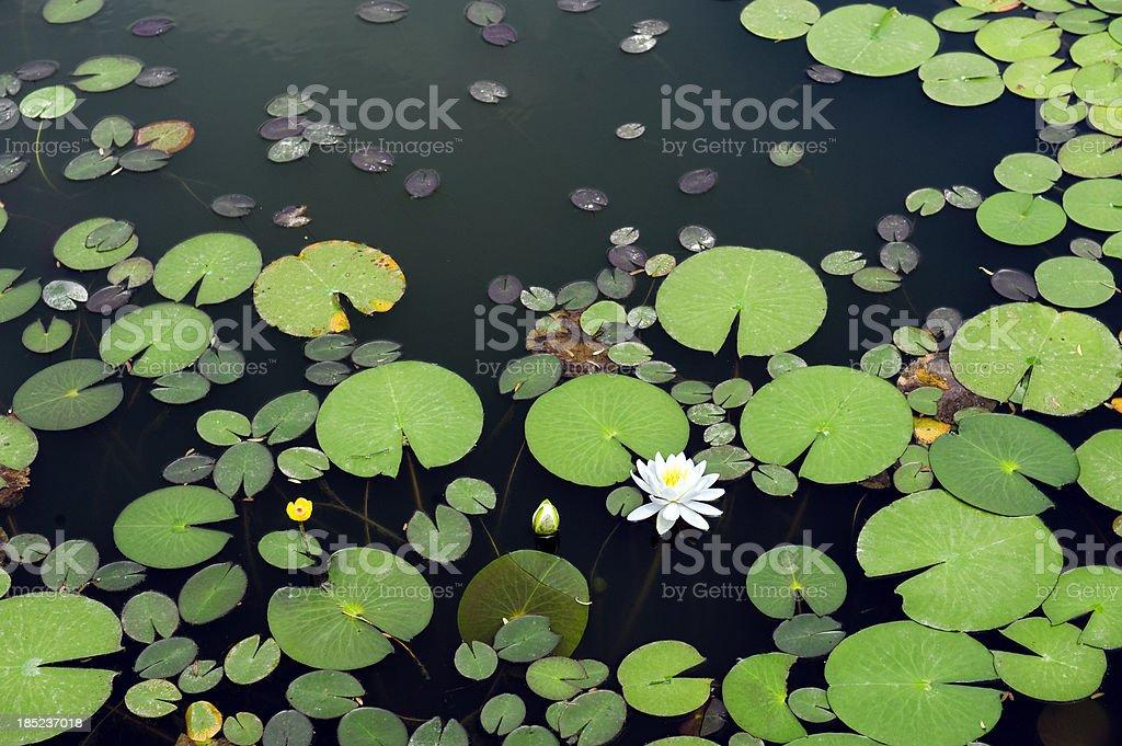 White lotus in the pond stock photo