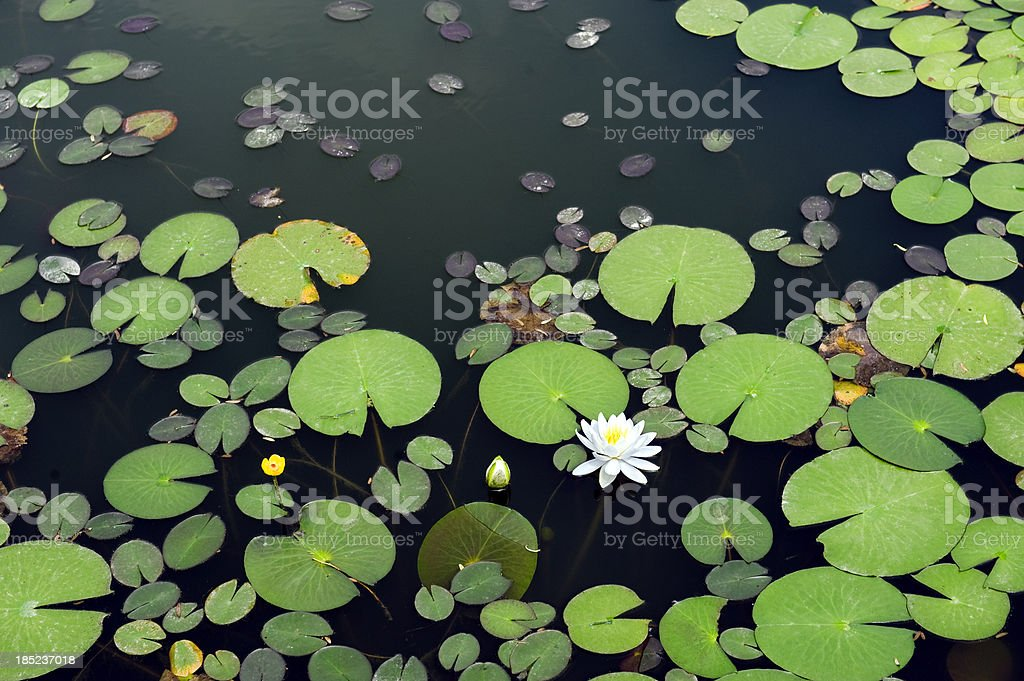 White lotus in the pond stock photo