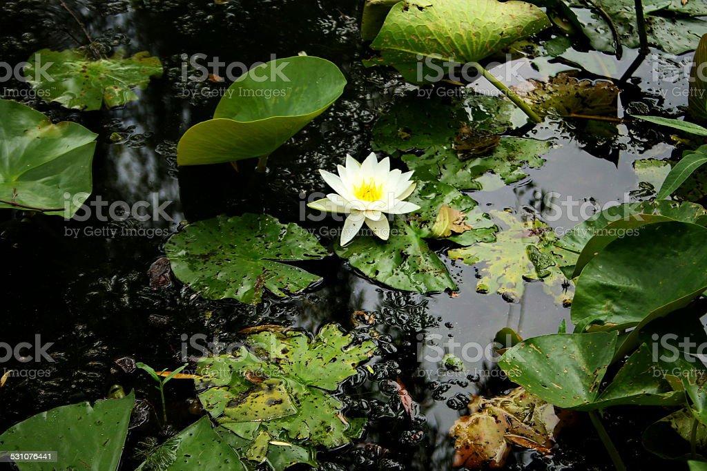 ホワイトロータス、Maschsee 湖 ロイヤリティフリーストックフォト