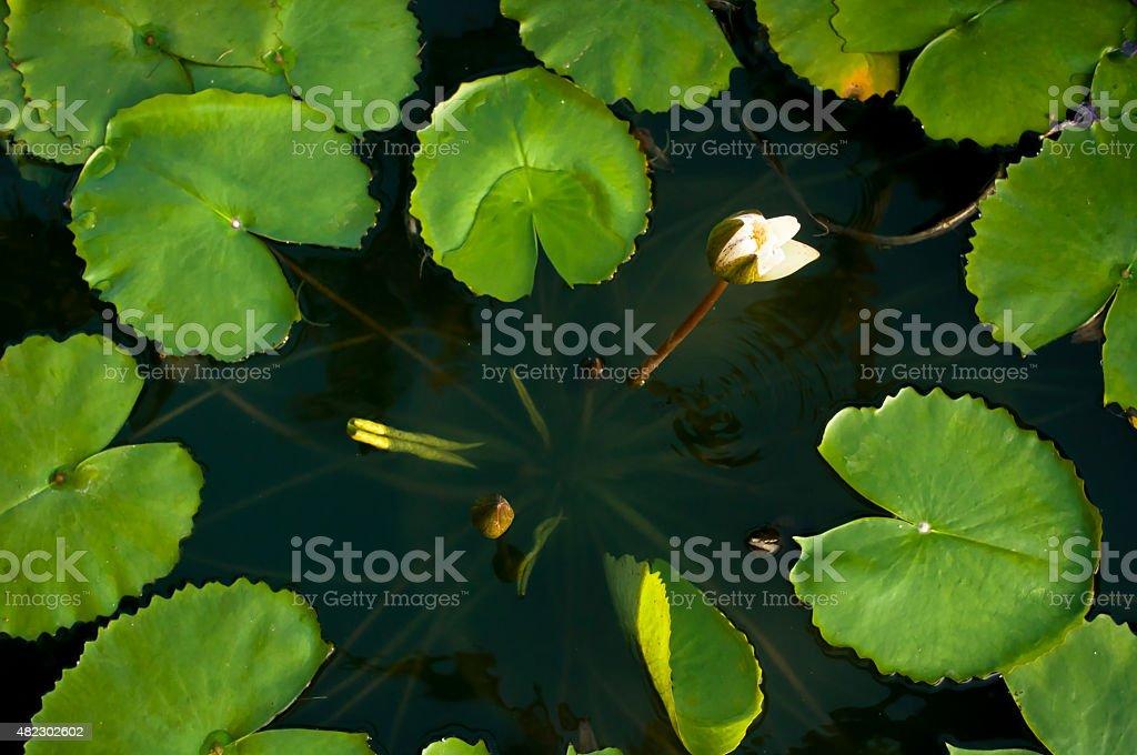White lotus on dawn stock photo