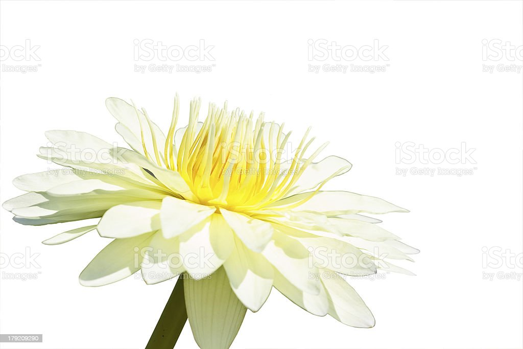 White lotus royalty-free stock photo
