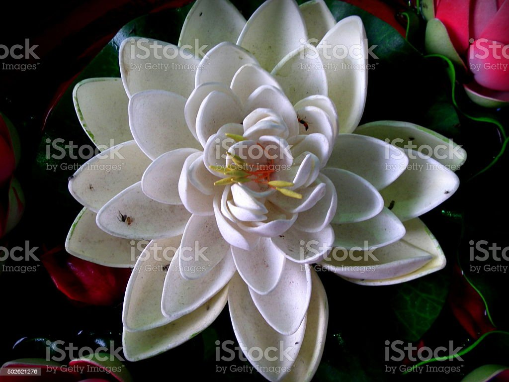 White Lotus stock photo