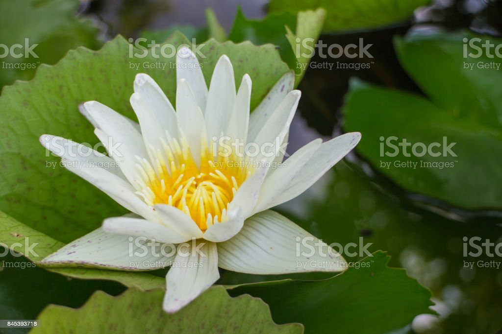 white lotus with the leaf stock photo