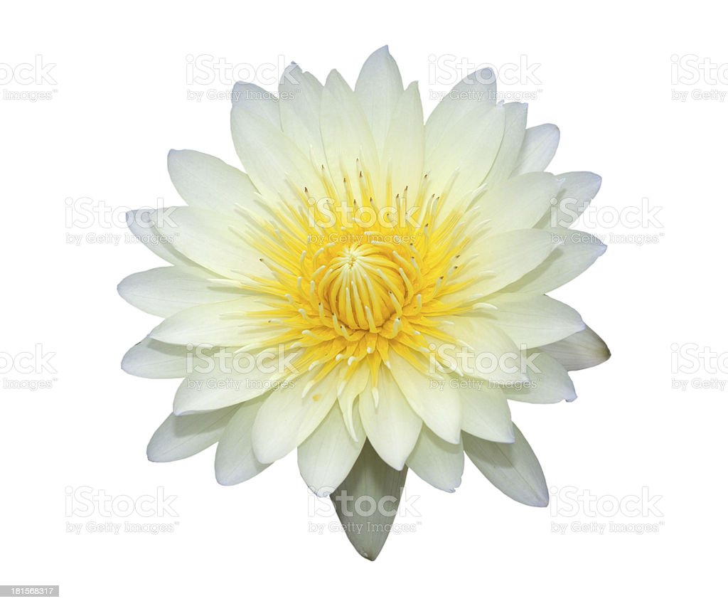 White lotus with yellow pollen isolated royalty-free stock photo