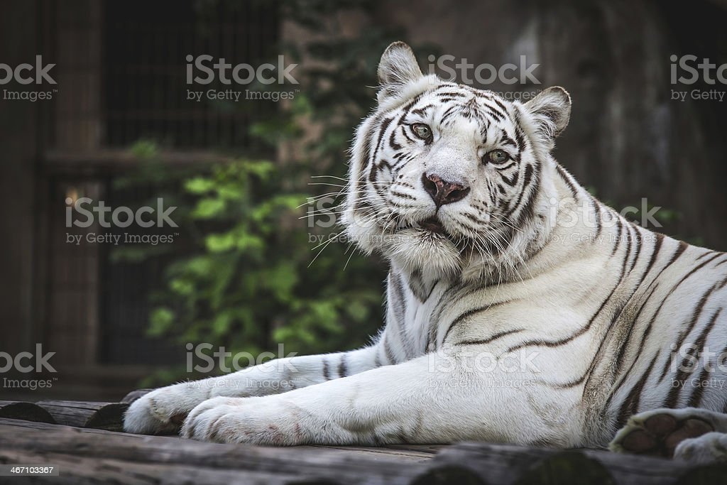 White Magnificent Wild royalty-free stock photo