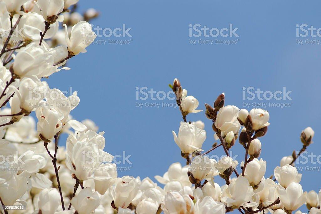 White magnolia blossom under the sky stock photo