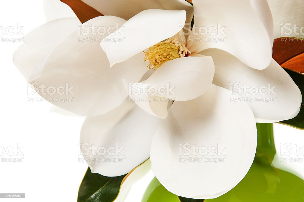 White Magnolia Flower Magnolias Floral stock photo