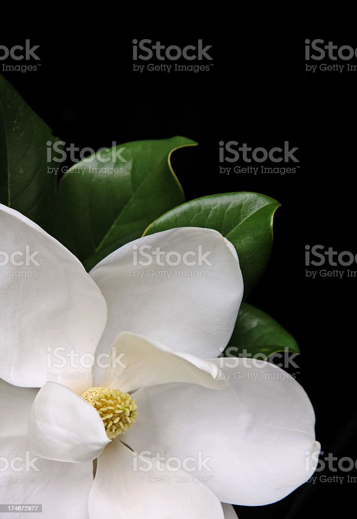 White magnolia flower over a black background stock photo