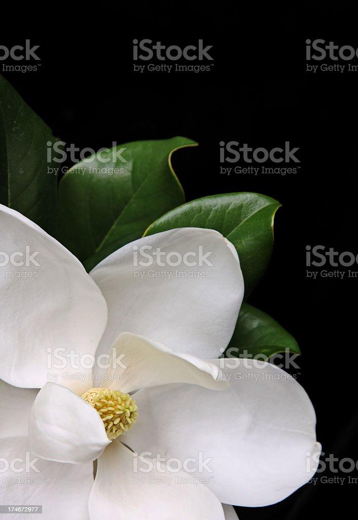 White magnolia flower over a black background stock photo