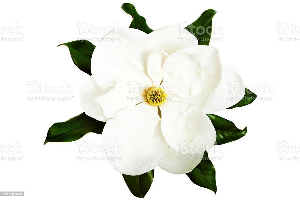 White Magnolia Flower stock photo