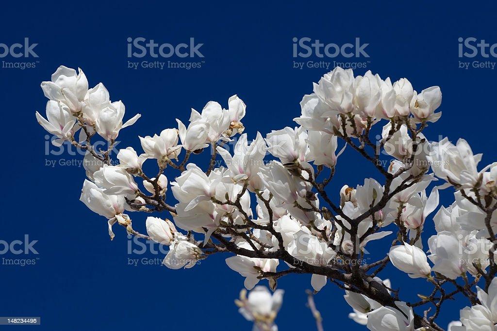 White magnolia flowers royalty-free stock photo