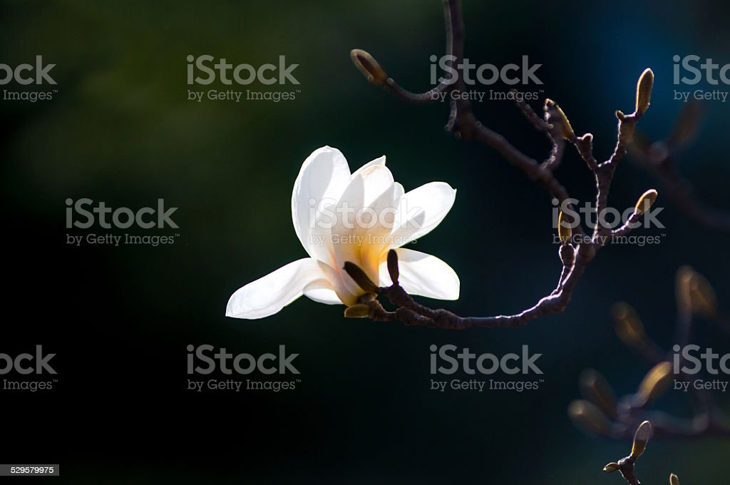 white magnolia flowers stock photo