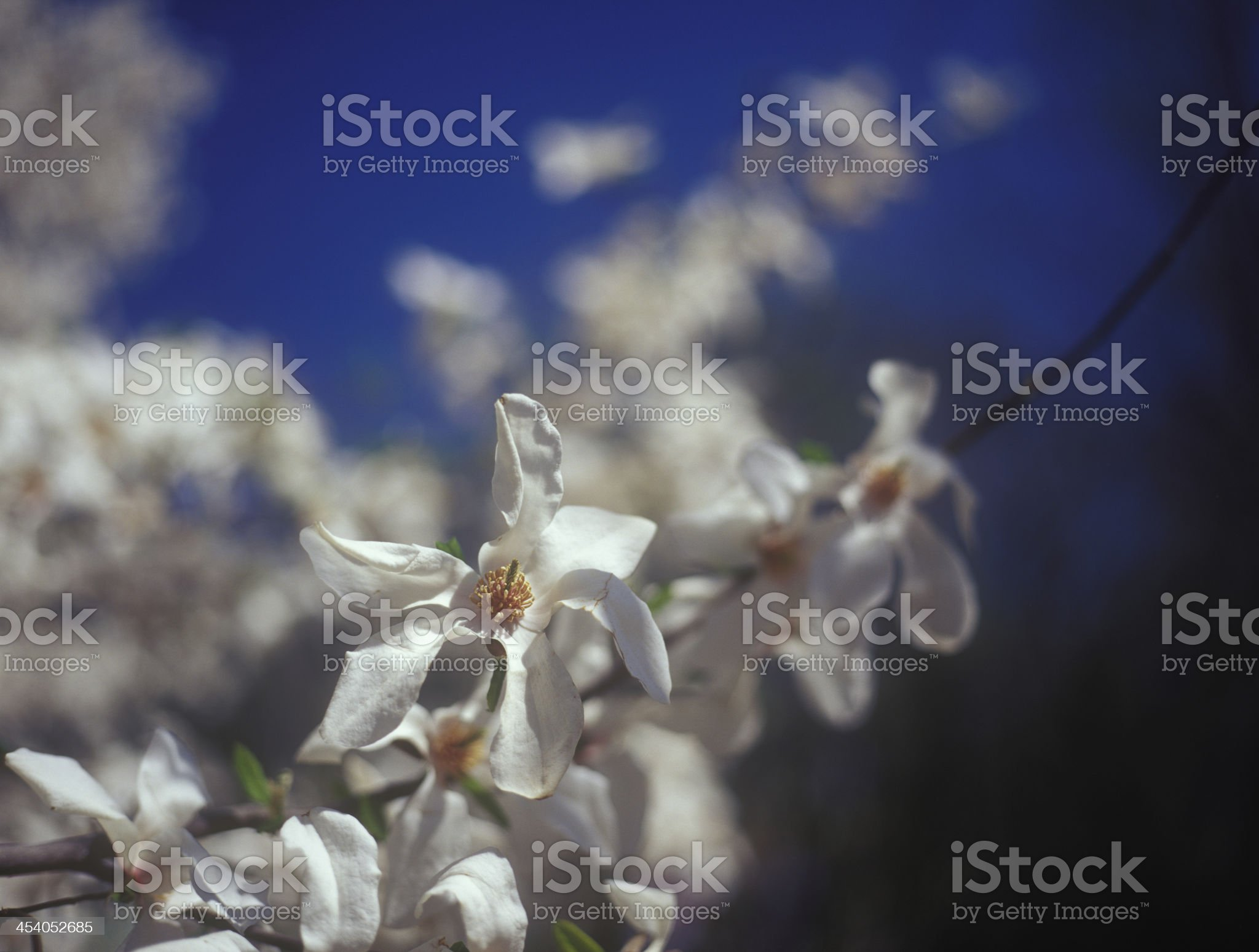 White magnolia in bloom against the blue sky. royalty-free stock photo
