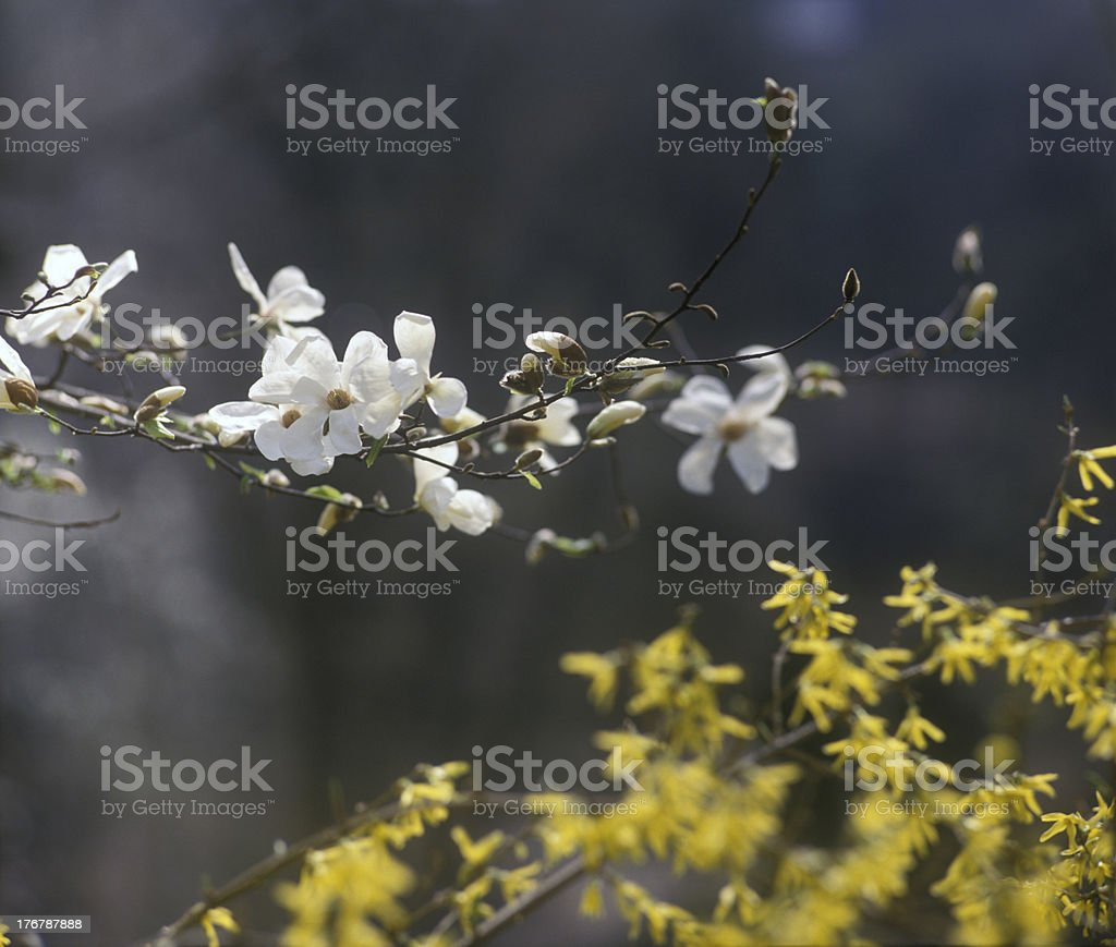 White magnolia in bloom. royalty-free stock photo