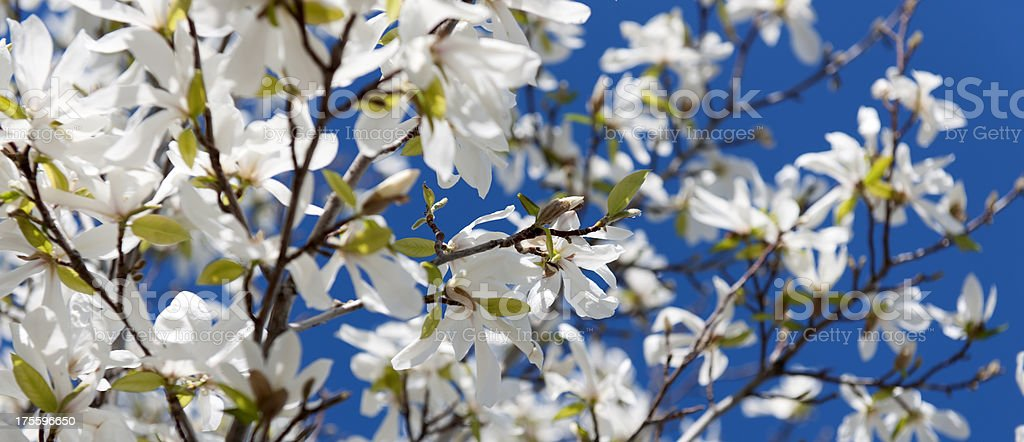 white magnolia royalty-free stock photo