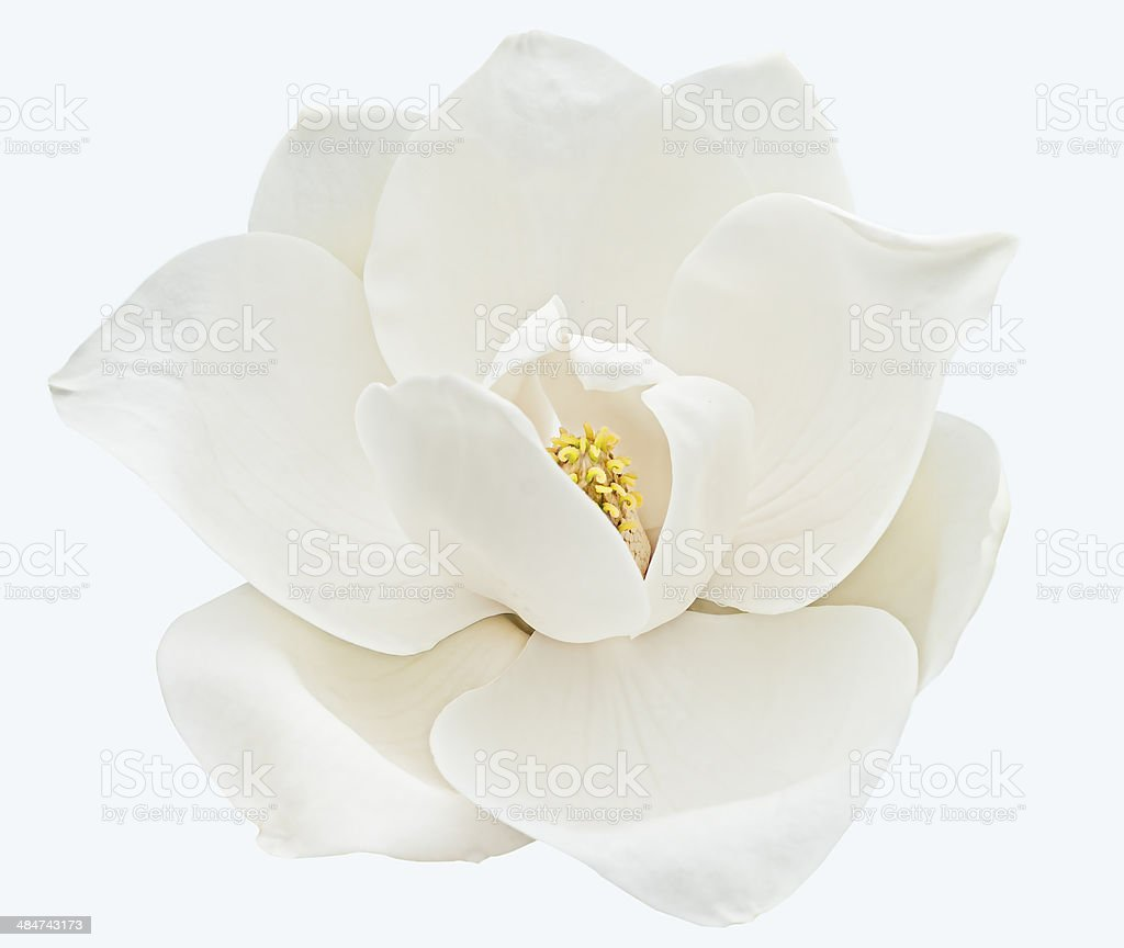 White magnolia stock photo