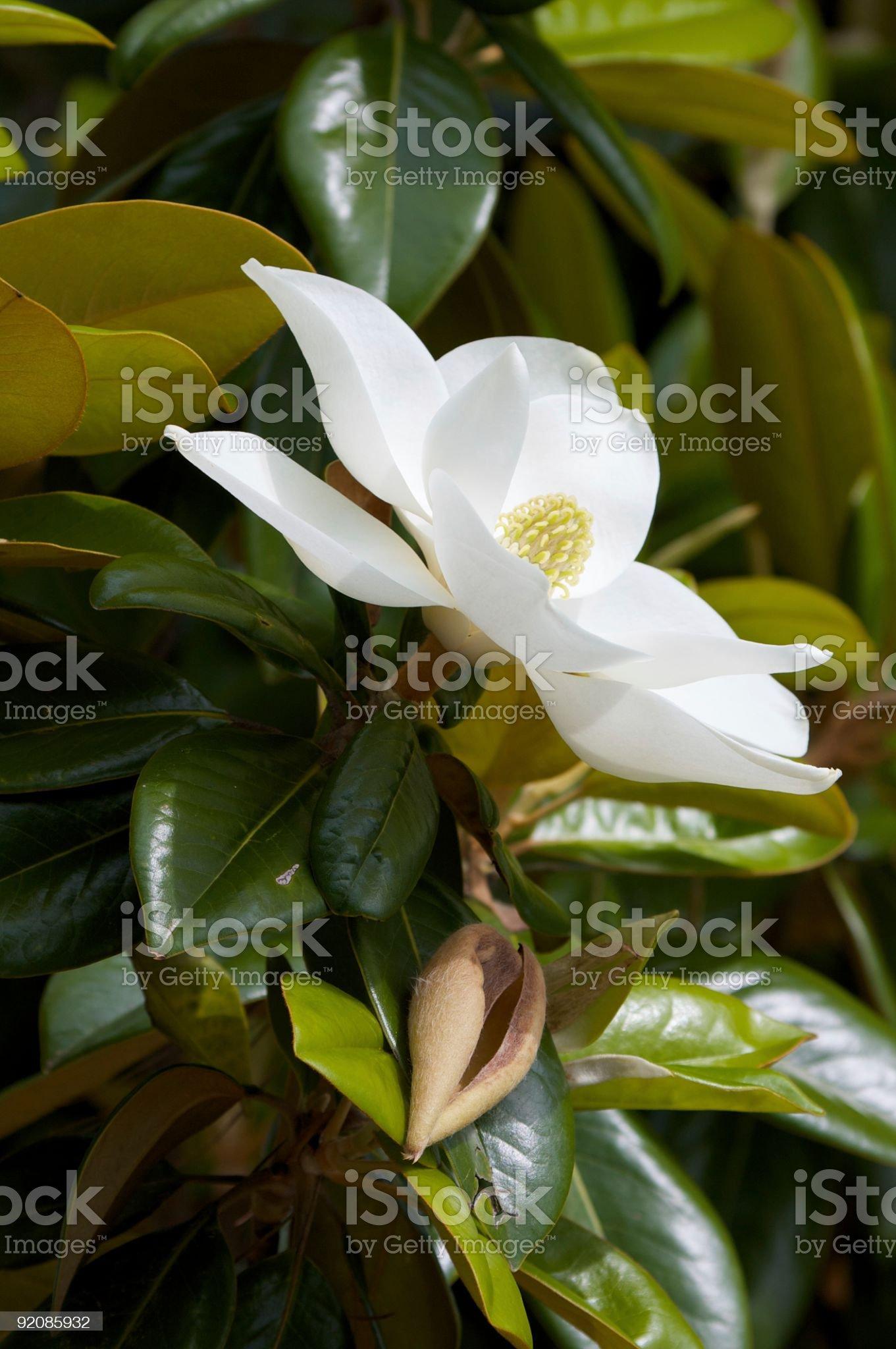 White Magnolia royalty-free stock photo
