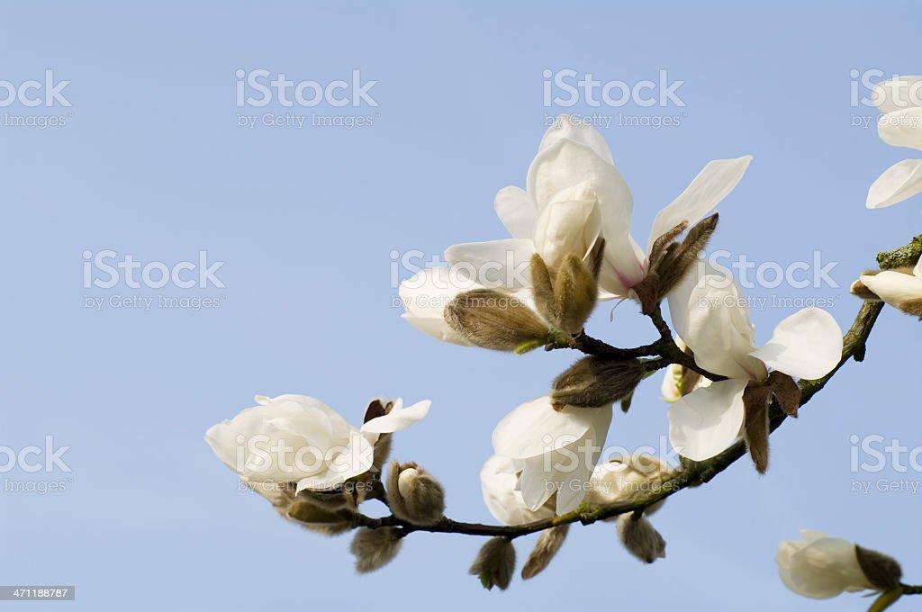 White Magnolia soulangeana in bloom against Blue Sky stock photo