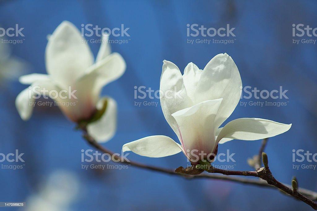 white magnolias royalty-free stock photo