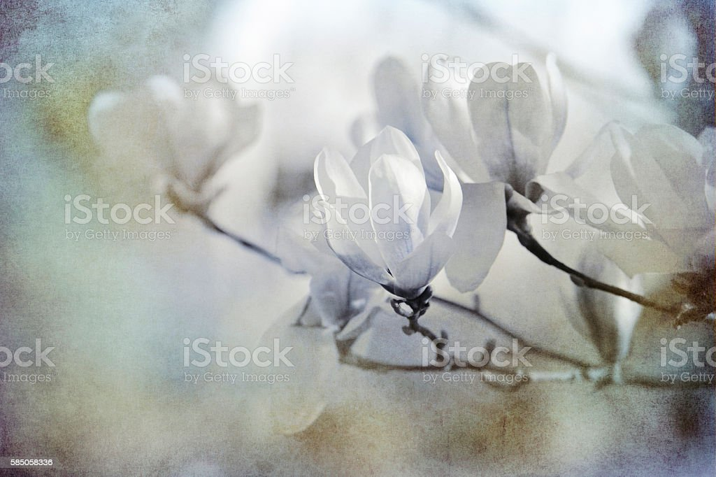 white magnolias textured on old paper stock photo