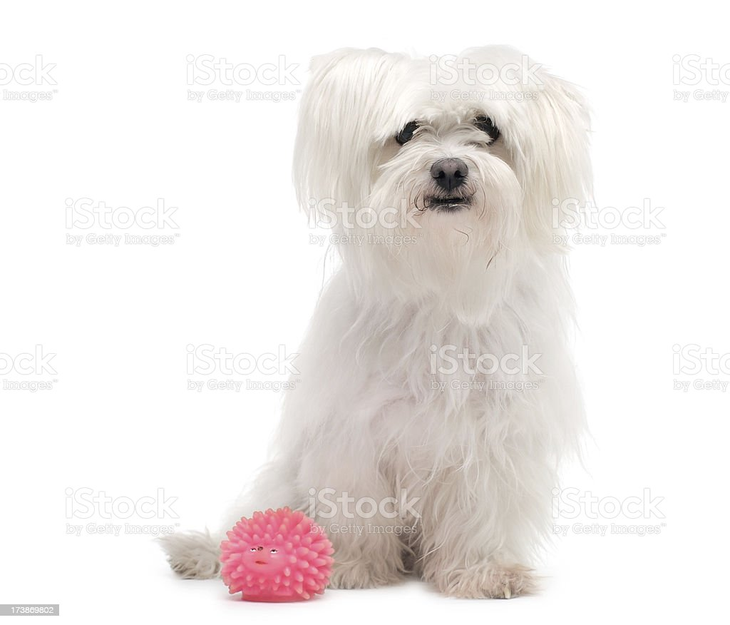 White Maltese terrier royalty-free stock photo