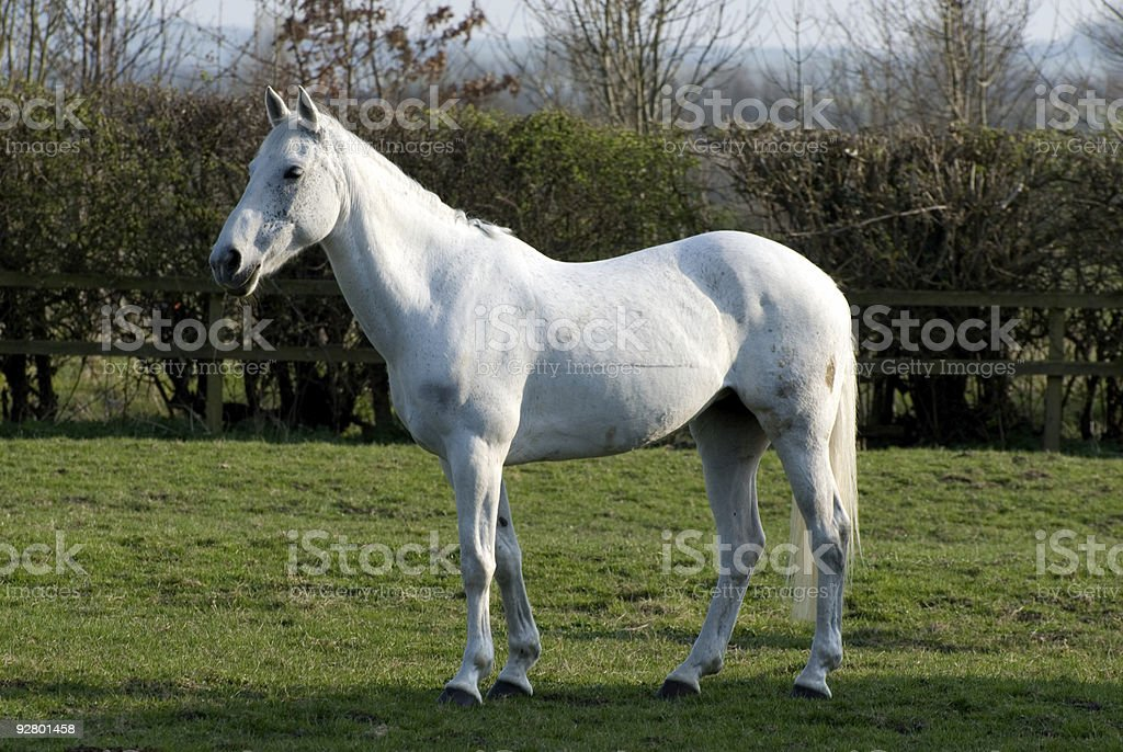 White mare horse stock photo