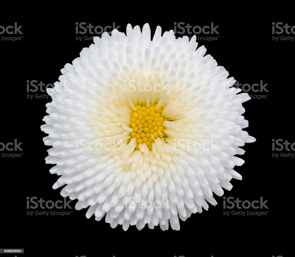 White marguerite daisy flower isolated on black background. stock photo