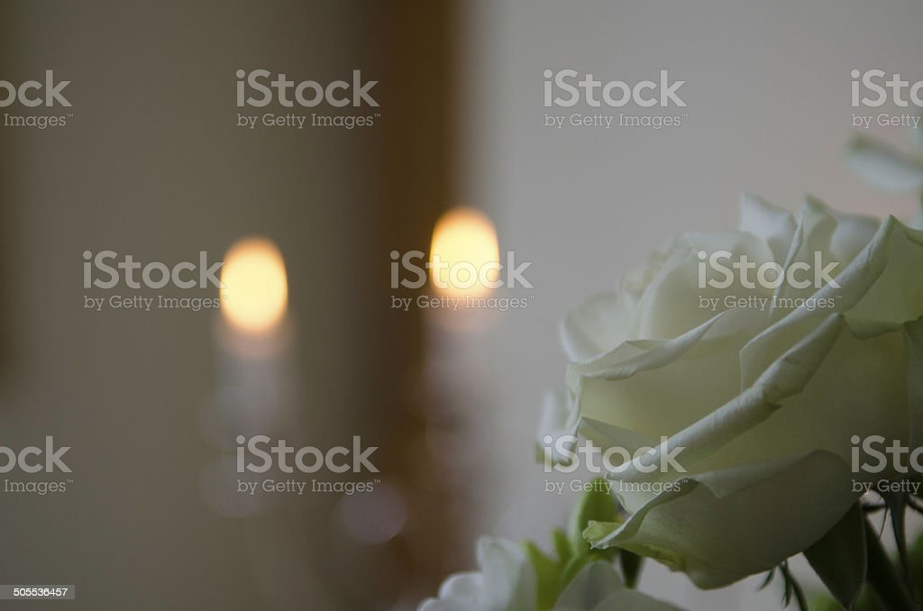 White memorial rose stock photo