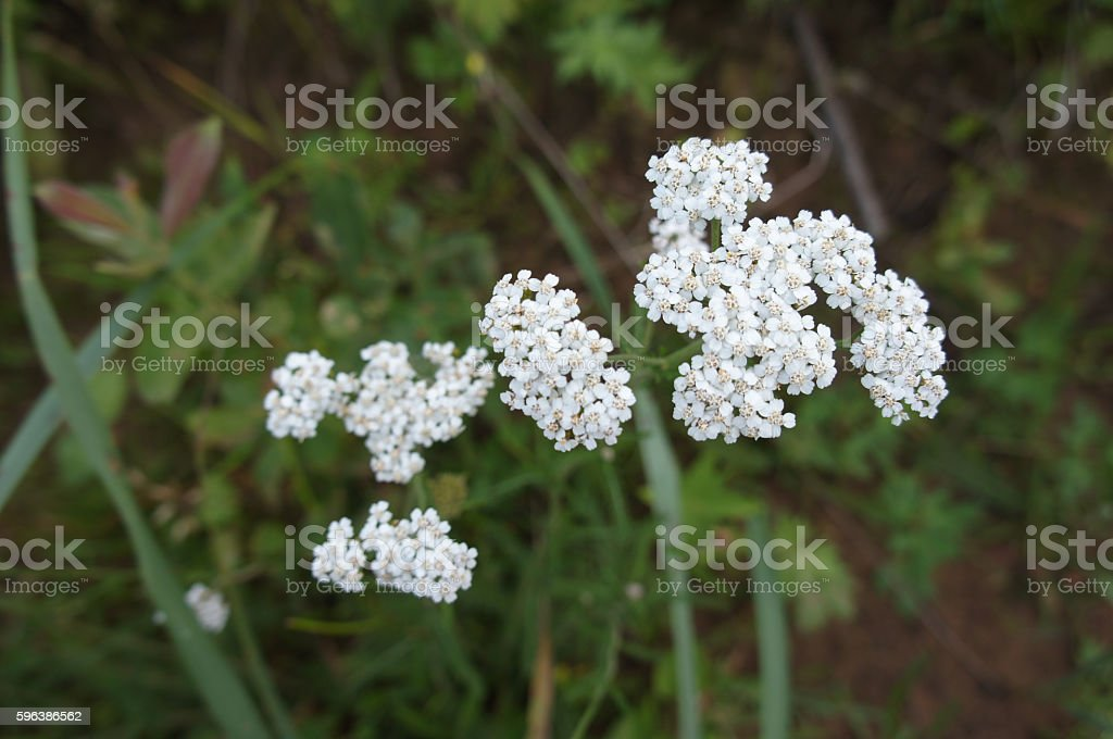 White milfoil or Achillea millefolium flowers stock photo
