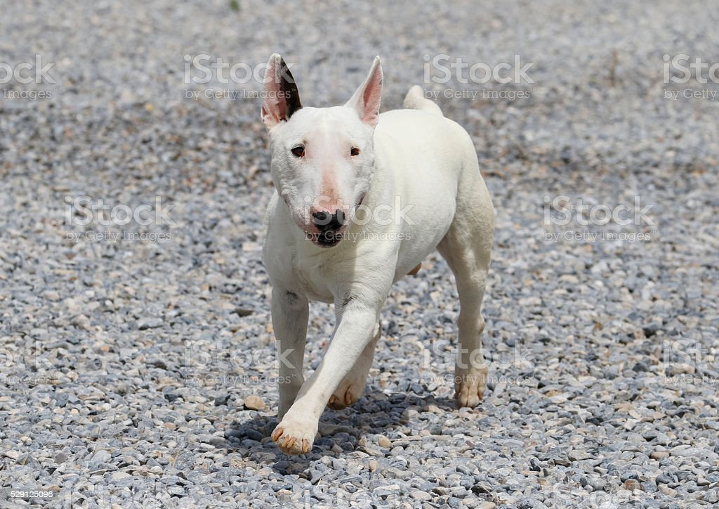 White mini bull terrier on the rocks stock photo