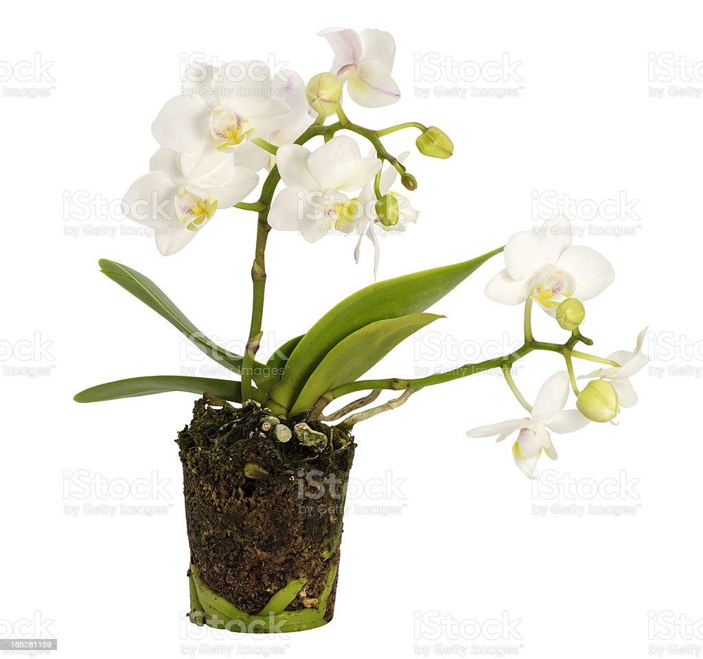 White mini orchids royalty-free stock photo