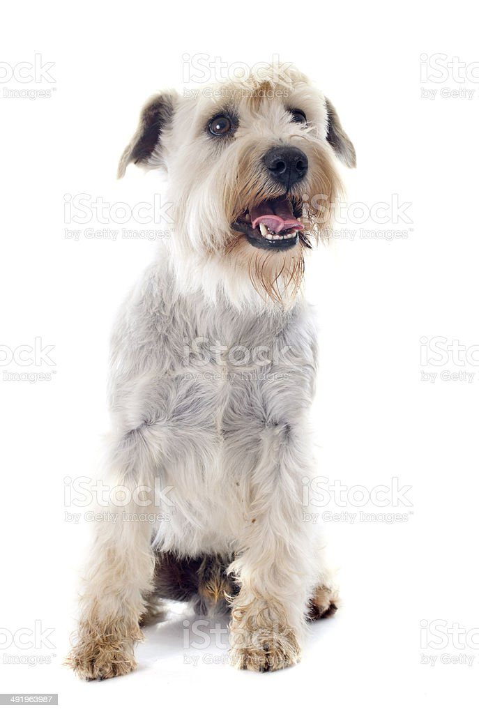 white miniature schnauzer stock photo