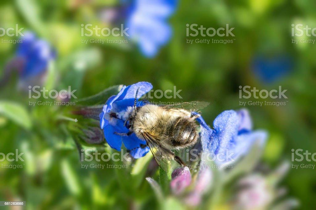 White Mining Bee stock photo