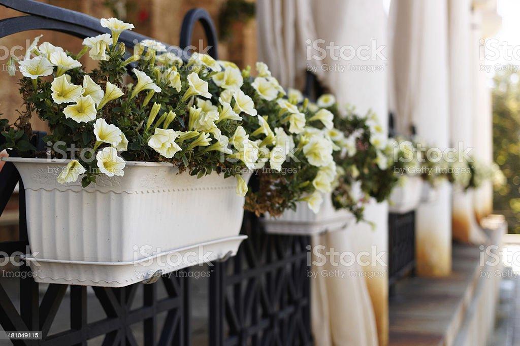 White mirabilis in pot stock photo