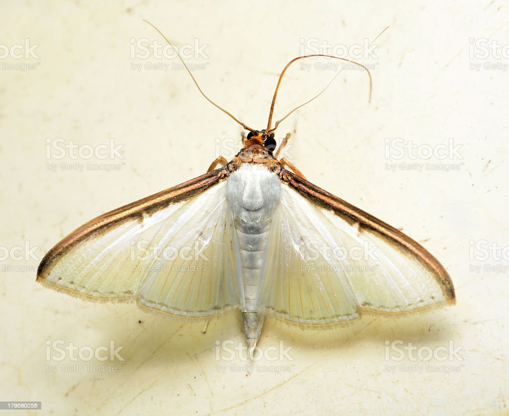 white moth butterfly royalty-free stock photo